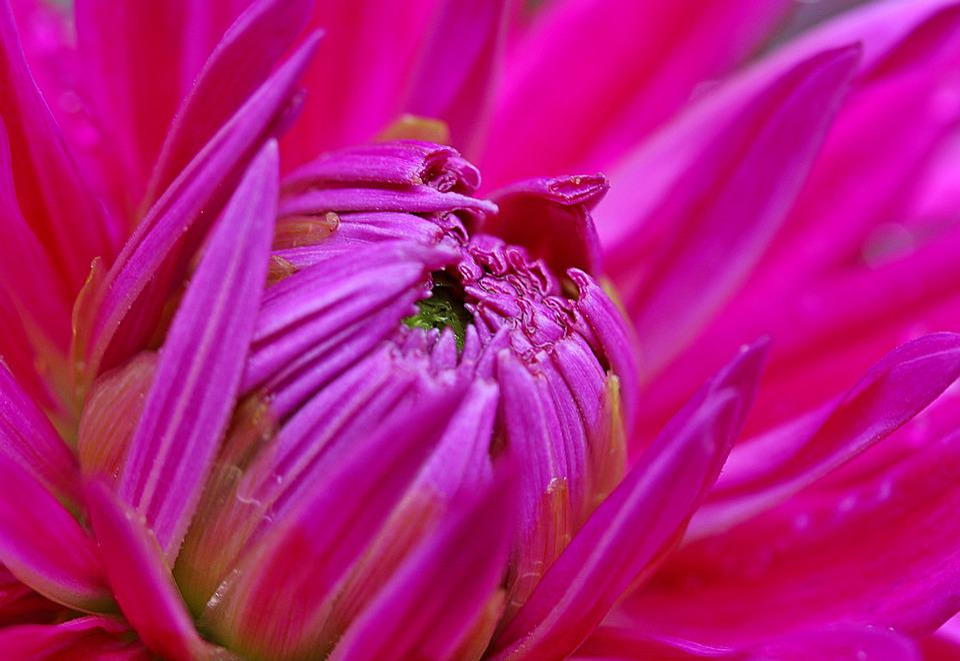 Dahlia, Flower, Composites, Dahlia Garden, Blossom