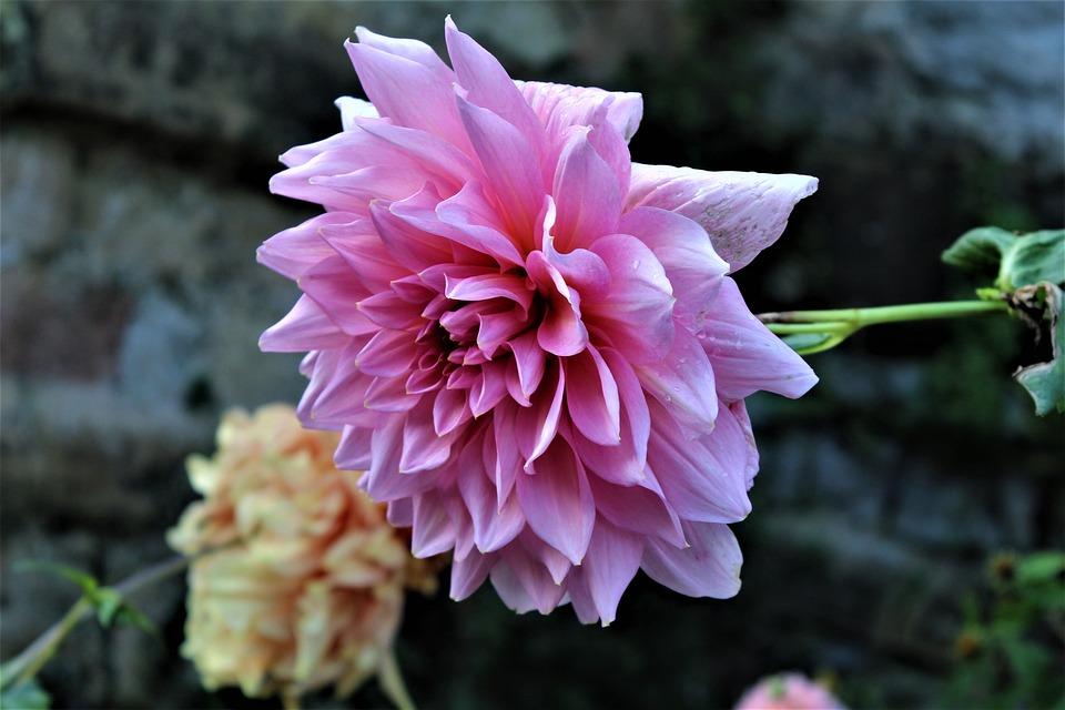 Flower, Dahlia, Ornamental Flower, Dahlia Garden