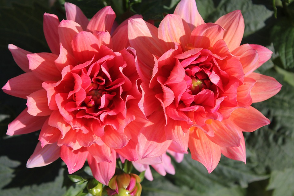 Dahlia, Flower, Blossom, Bloom, Pink, Salmon, Garden
