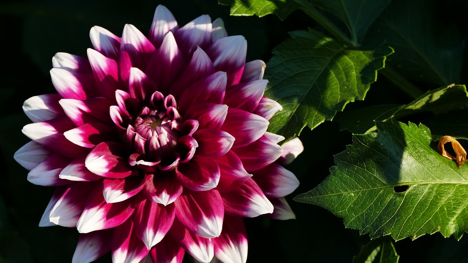 Nature, Garden, Flowers, Dahlia, Red, White Lace