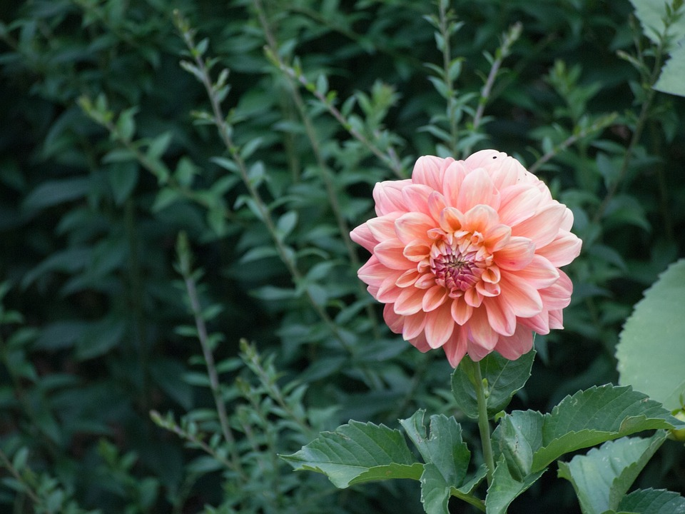 Botanical, Flower, Floral, Dahlia, Garden, Green, Plant