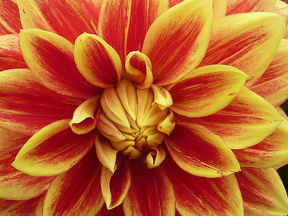 Flower, Dahlia, Summer, Red, Yellow, Macro