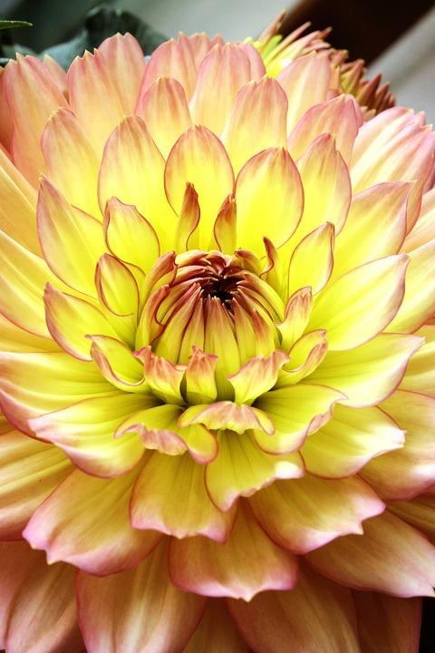 Flower, Dahlia, Yellow, Macro