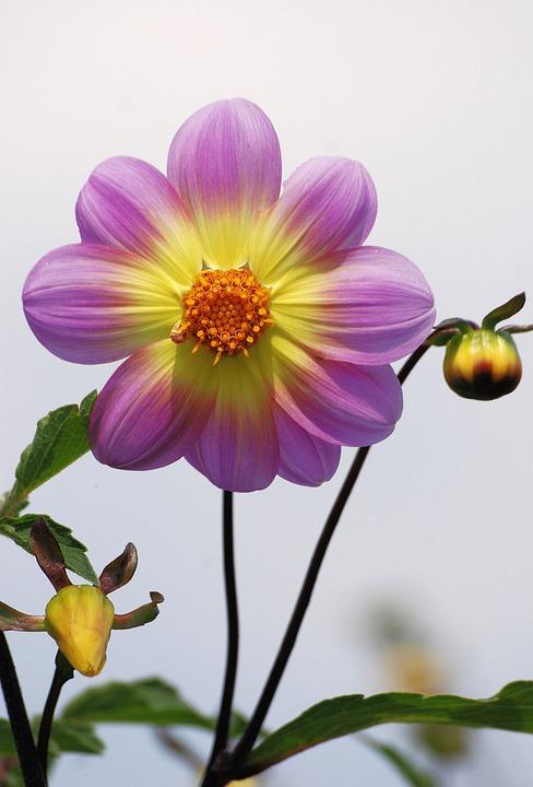 Dahlia, Flower, Buds, Plant, Bloom, Blossom