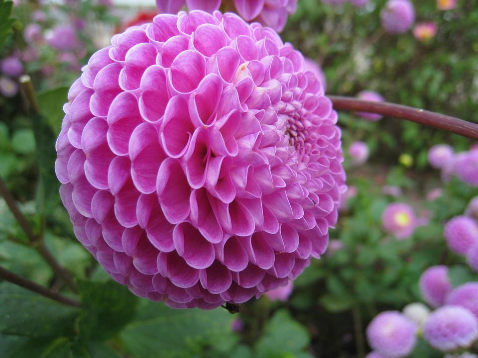Dahlia, Pom-pom, Pink, Flower, Autumn, Garden, Branch
