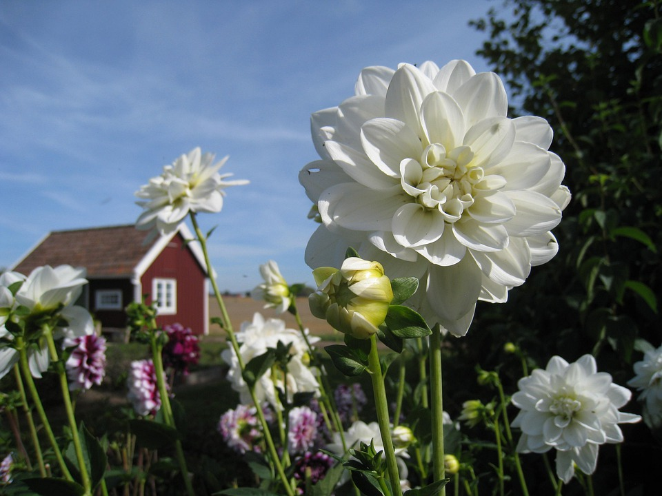 Dahlia, White, Cottage, Red, Colors, Flowers, Sky Blue