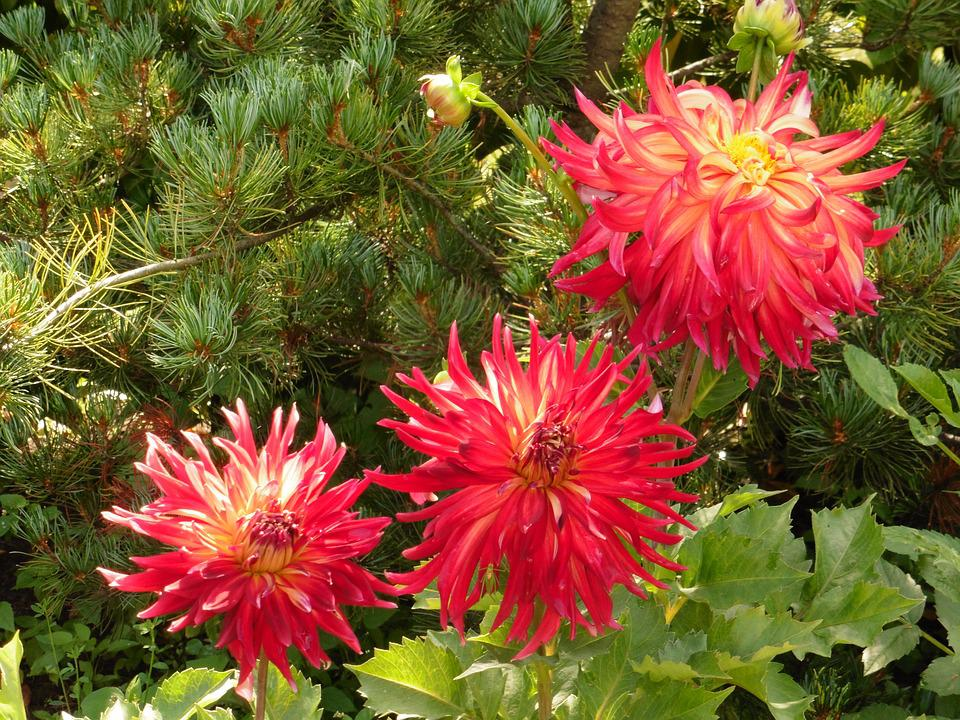 Dahlia, Flower, Red, Garden, Autumn, Nature