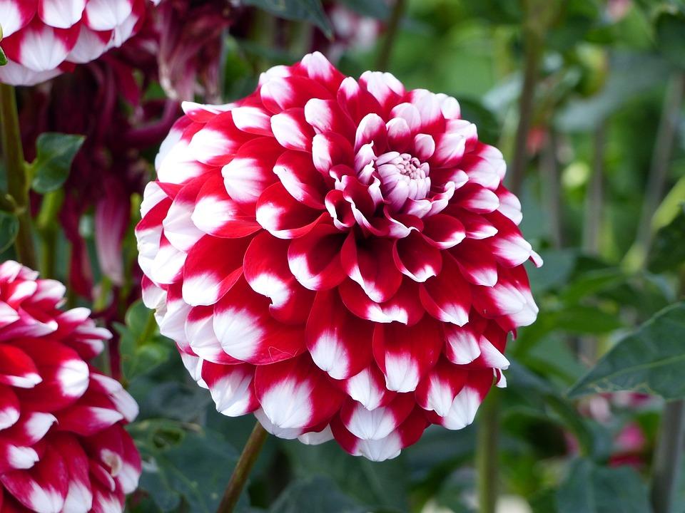 Free photo dahlia summer flowers garden white red green max pixel dahlia flowers red white summer garden green mightylinksfo
