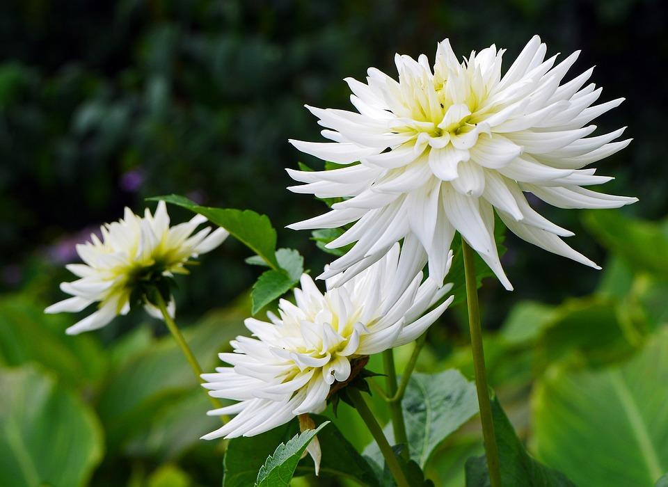 Dahlia, White, Late Summer, Lush, Blossom, Bloom, Shrub