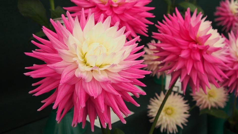 Dahlias, Wisley Gardens, Flower, Bloom, Pink, White