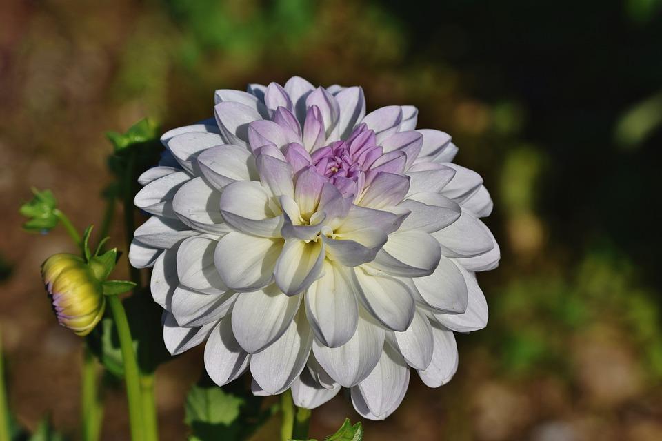 Dahlias, Flowers, Petals, Blossom, Bloom