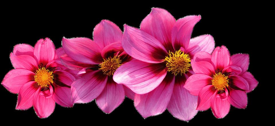 Dahlias, Flowers, Dahlia Garden, Late Summer, Dahlia