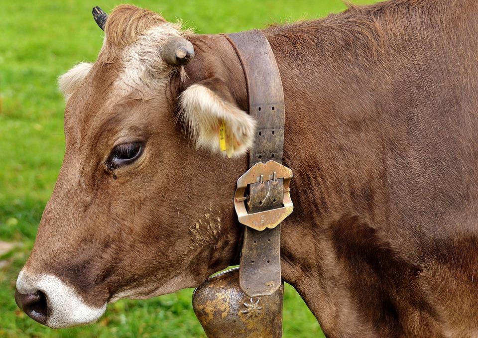 Free Photo Dairy Cattle Allg 228 U Ruminant Cute Cow Cows