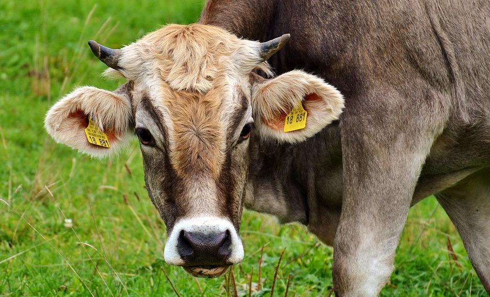 Cow, Allgäu, Cows, Ruminant, Dairy Cattle, Pasture