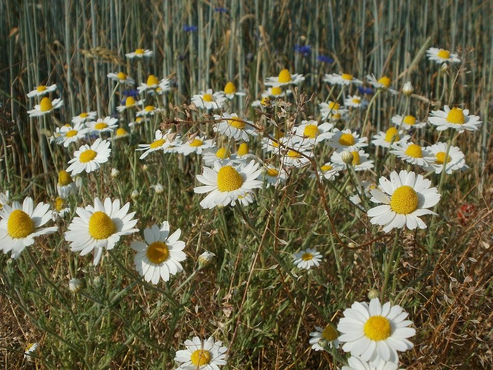 Tripleurospermum Inodorum, Daisies, Asterales
