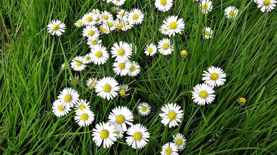 Daisies, Daisy, Flora, Summer, Nature, Grass, Hayfield