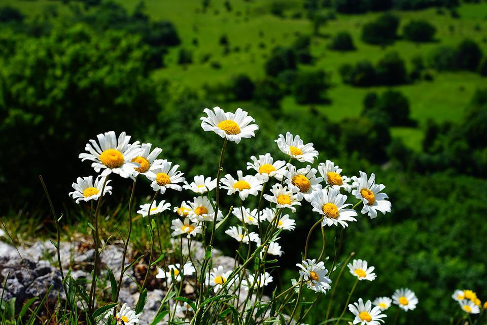 Meadows Margerite, Daisies, Flowers, White