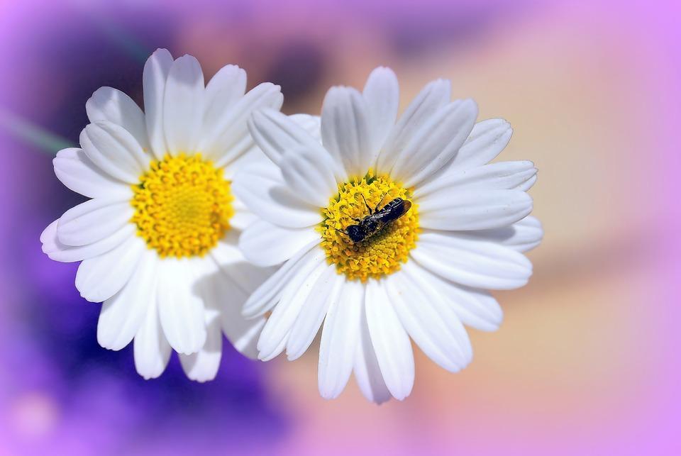 Daisies, Flowers, Garden, Flora, Nature, Summer