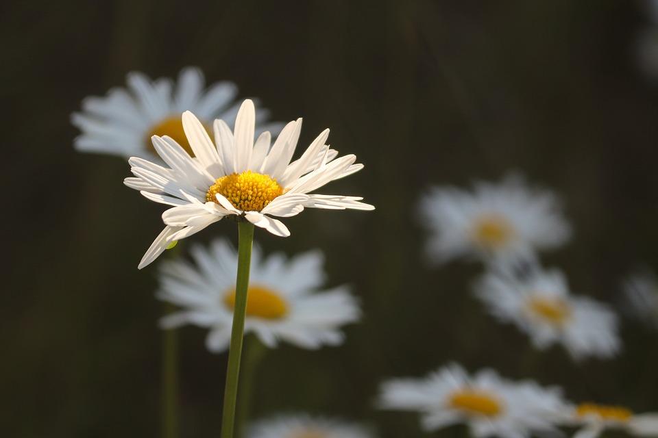 Daisies, Flower Meadow, Illuminated, Individually