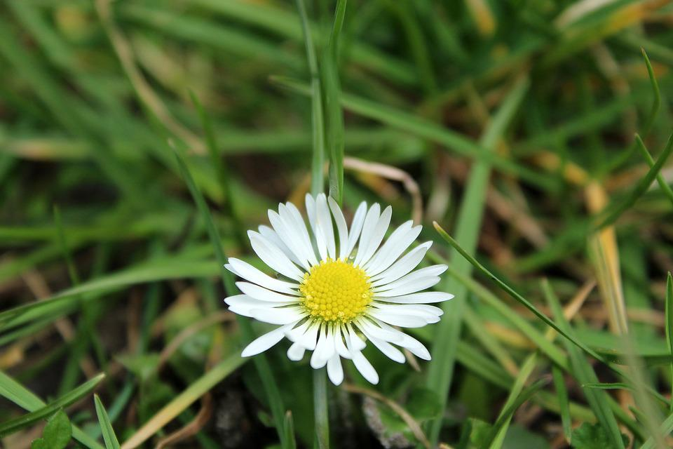Daisy, Meadow, Spring, Nature, Grass, Daisies, Figure