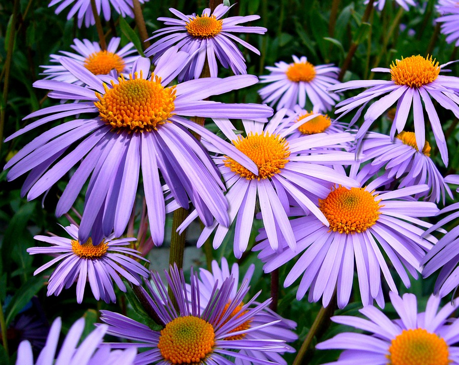 Aster Tongolensis, Flowers, Daisies, Michelmas Daisy