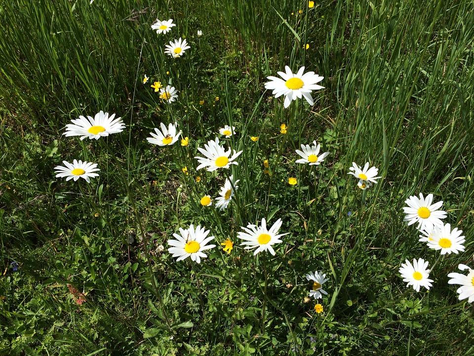 Daisies, Nature, Alpine, Alm
