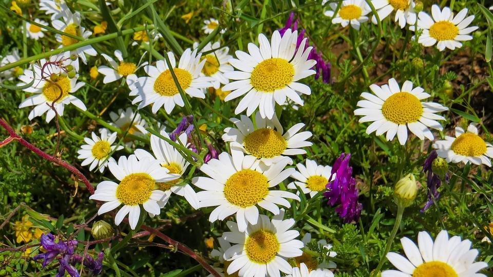 Daisy, Nature, Flowers, Spring, Daisies, White, Yellow