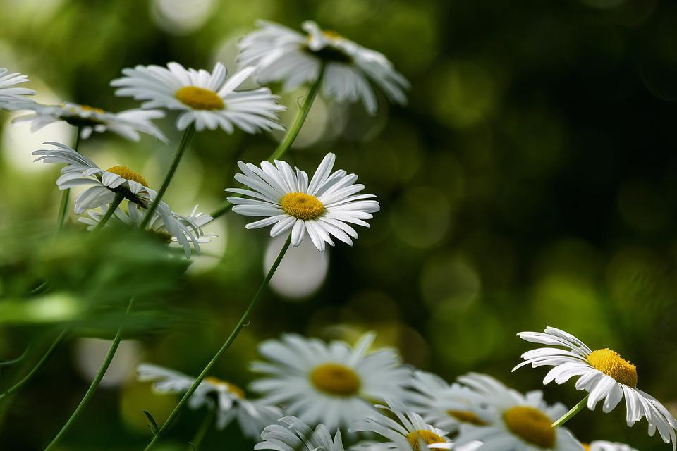Flowers, Daisies, White Daisies, White Flowers, Petals