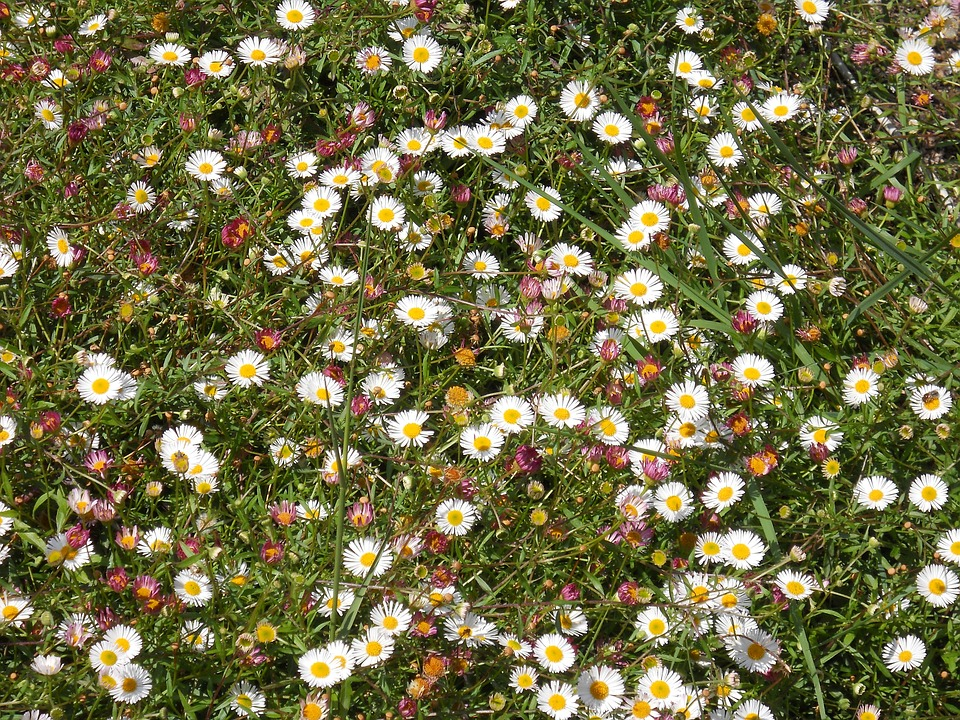 Flowers, Daisies, Prato, Spring, Wildflowers, Nature