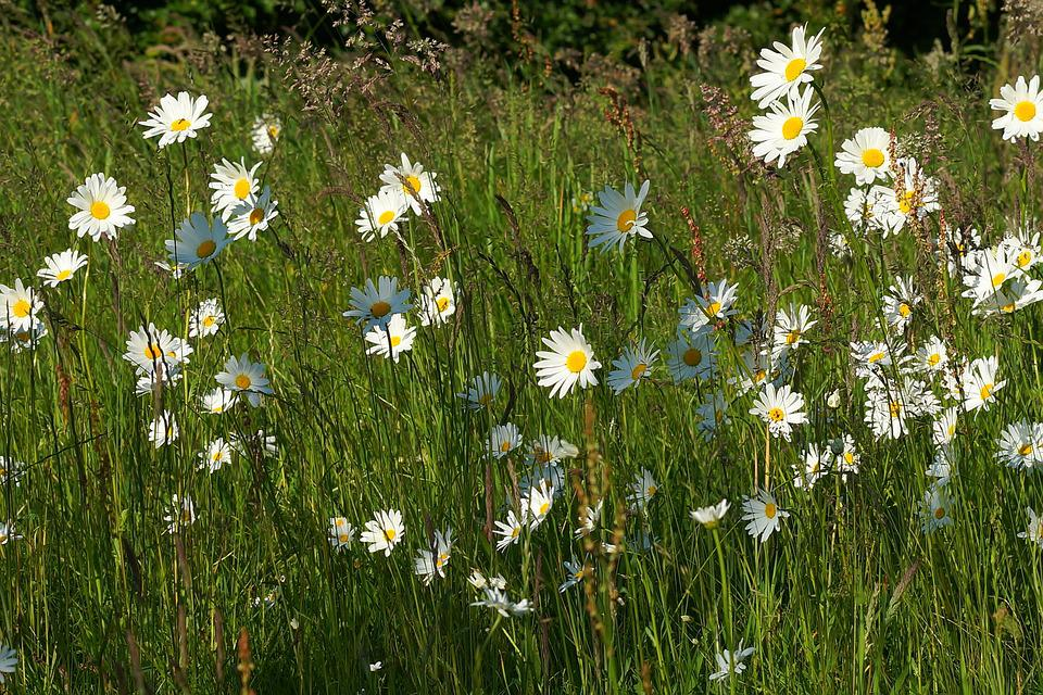 Flowers, Daisies, Plant, Meadow Margerite, Summer