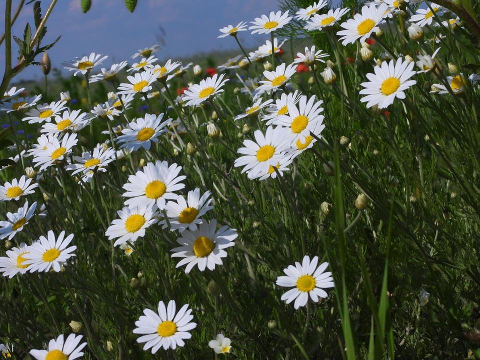 Daisies, Polyana, Spring, June, White, Yellow, Nature
