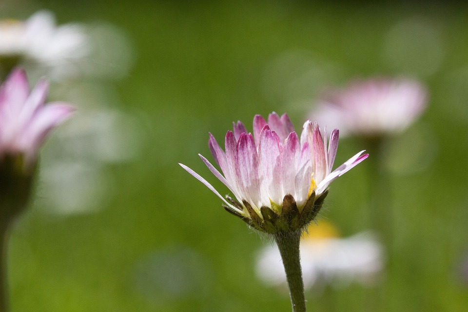 Meadow, Daisy, Blossom, Bellis Philosophy, Tausendschön