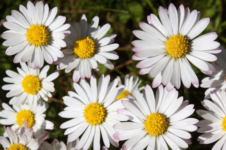 Daisy, Bellis Philosophy, Tausendschön, Monatsroeserl