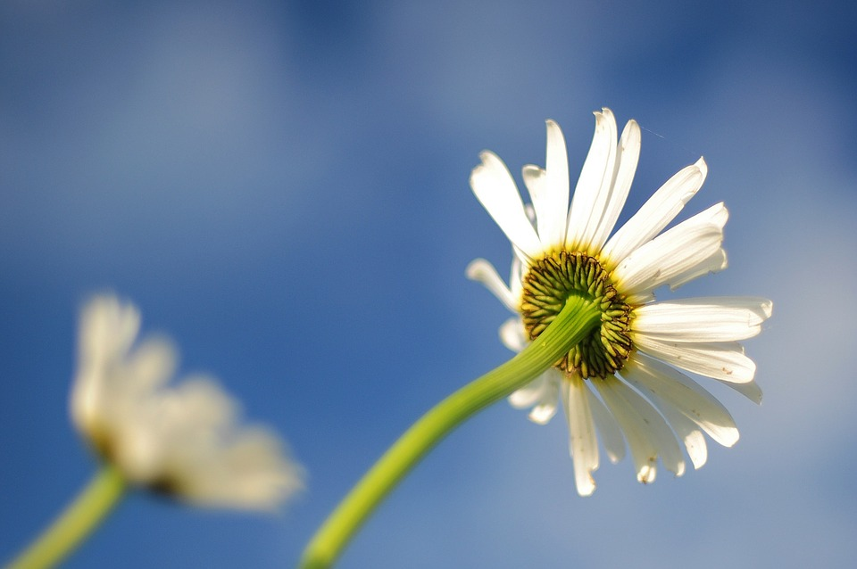 Daisy, Blue, Flower, Bloom, Colorful, Fresh, Blossom