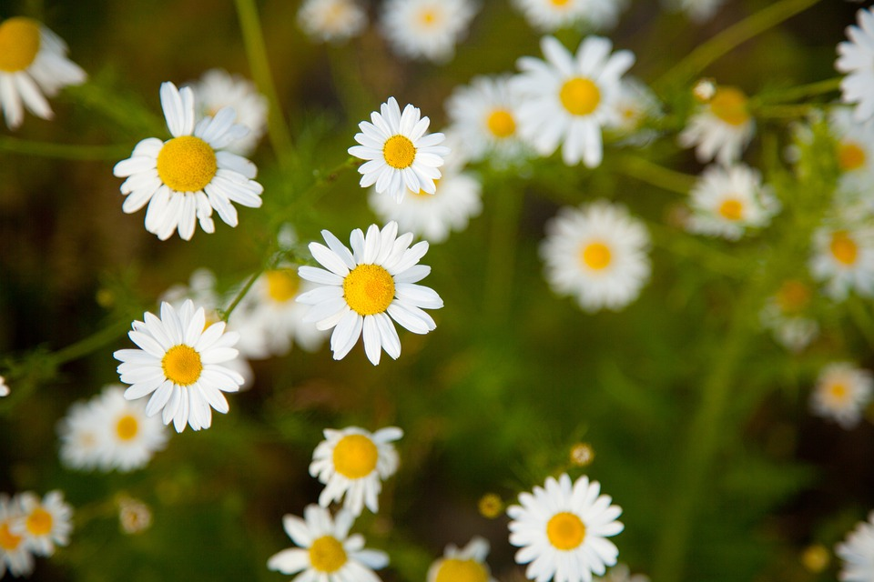Blossom, Bright, Camomile, Chamomile, Daisy, Field