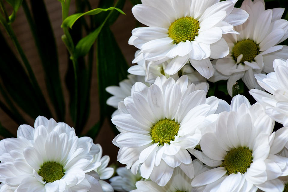 Chrysanthemum, Daisy, Flower, Plant, Bloom, Nature