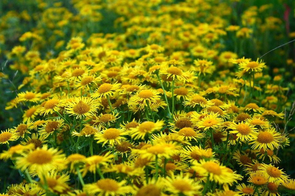 Daisy, Meadow, Yellow, Closeup, Wild Flowers, Nature