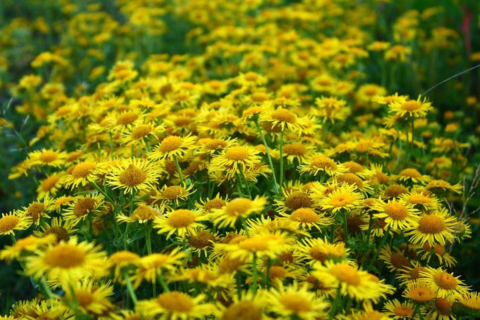 Daisy, Meadow, Yellow, Closeup, Wild Flowers, Nature