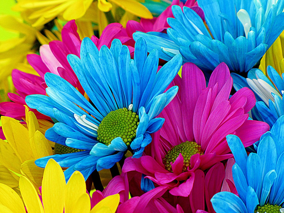 Daisies, Daisy, Flowers, Bloom, Petal, Nature, Colorful