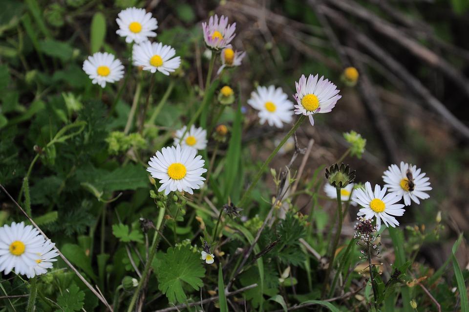 Daisy, Daisy Pictures, Chamomile Photos
