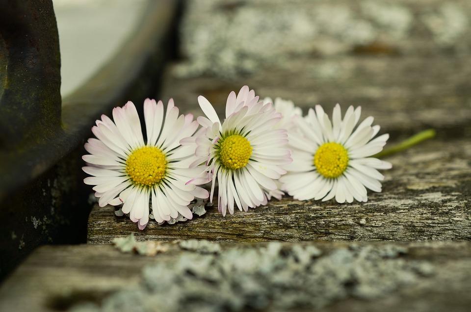 Daisy, Wood, Weathered Wood, Close, Flower, Blossom