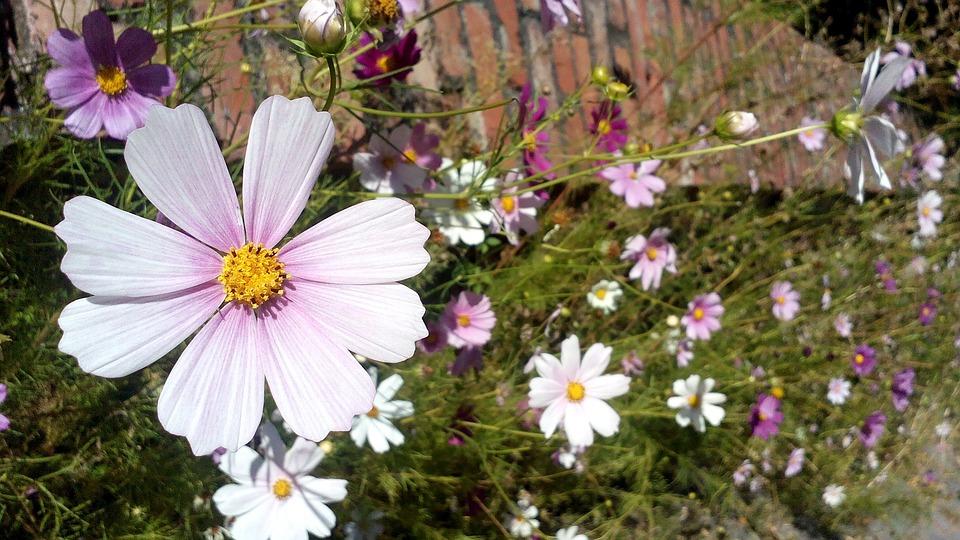 Flower, Daisy, Nature, Garden, Outdoor, Sunshine, Plant