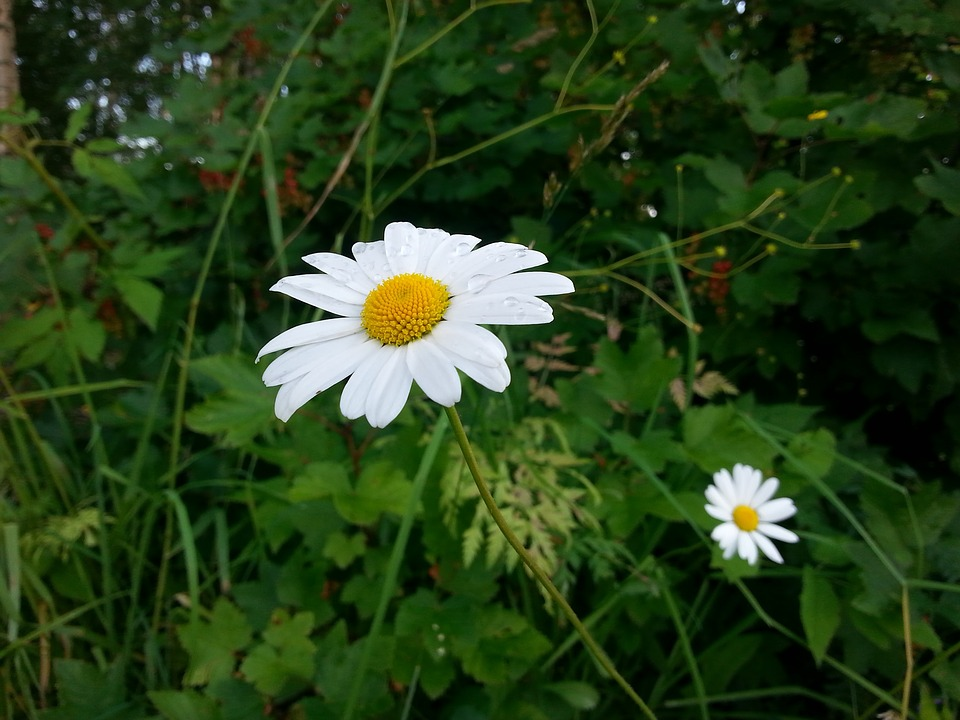 Flower, Daisy, Summer, Meadow Plant, Nature, Plant