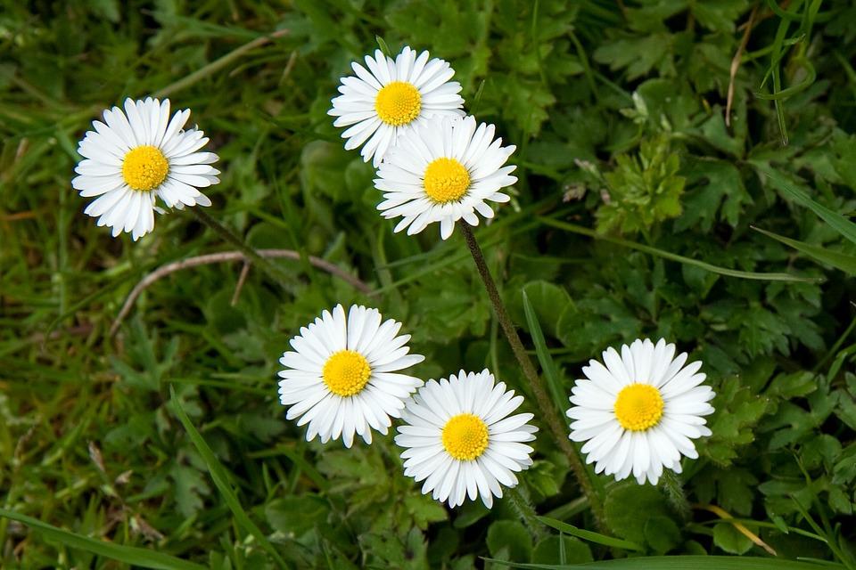 Free photo daisy flowers flower tiny spring white yellow max pixel daisy flower flowers spring yellow white tiny mightylinksfo