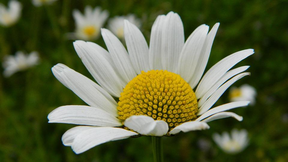 Daisy, Meadow, Flower, Summer, Flowers Nature, White