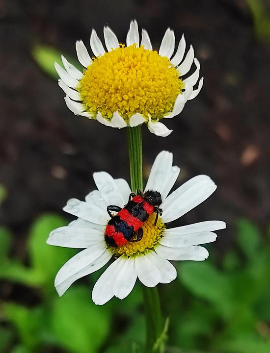 Beetle, Insect, Daisy, Checkered Beetle, Flowers, Plant