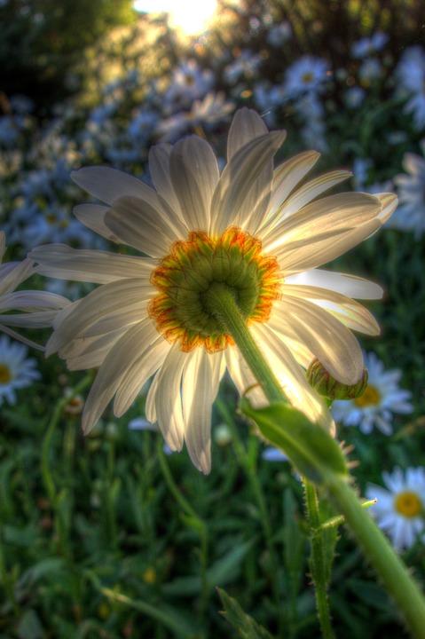 Daisy, Flower, Garden, Bloom, Blossom, Backlit