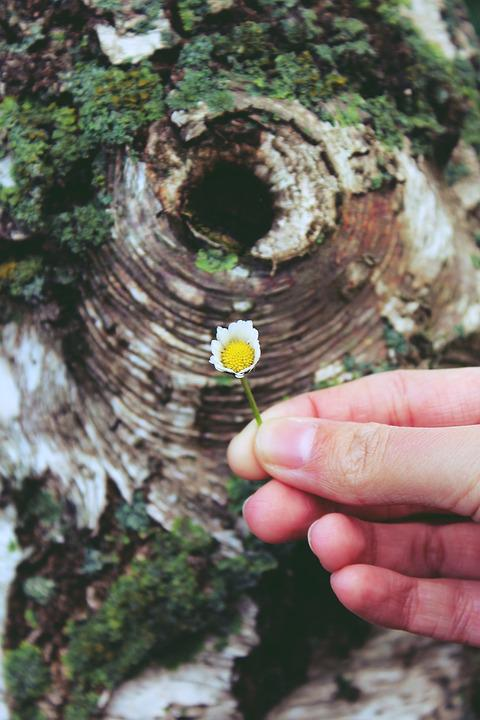 Daisy, Hibernation, Hand, Tree, Birch, Background