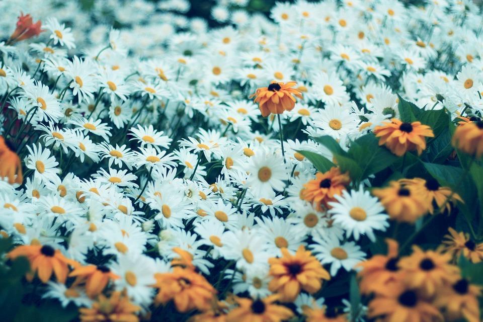 Daisy, Flower, Flowers, Nature, Pink Flower, Macro