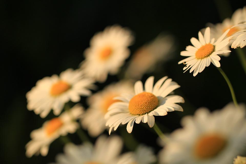 Daisy, Flowers, Nature, Plant, Spring, Macro, Small